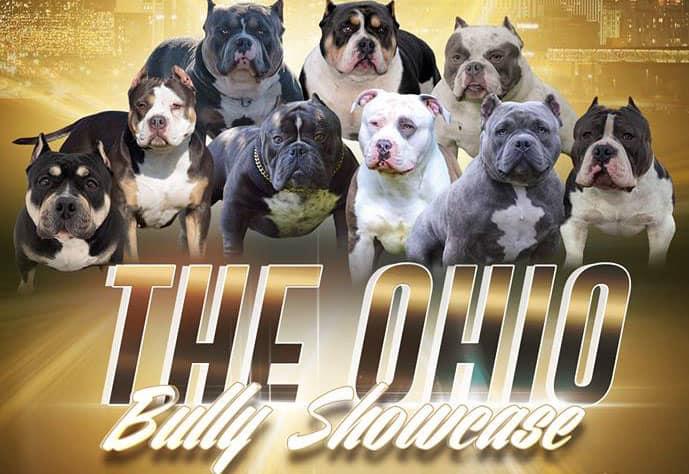 Pocket American Bully Breeder in Columbus, Ohio - ABKC & UKC